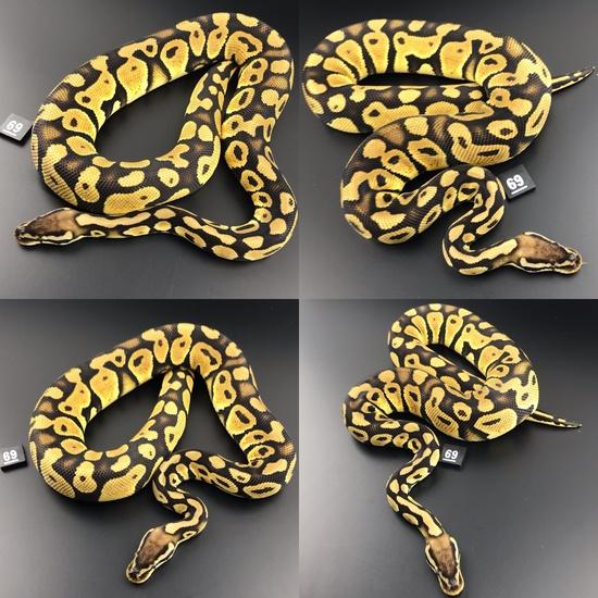 d stripe ball python for sale