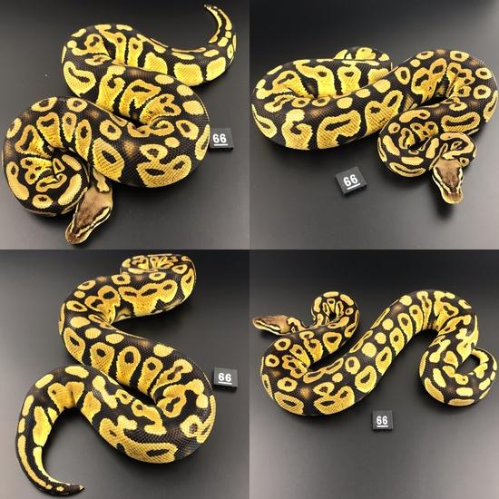 ball pythons morphs