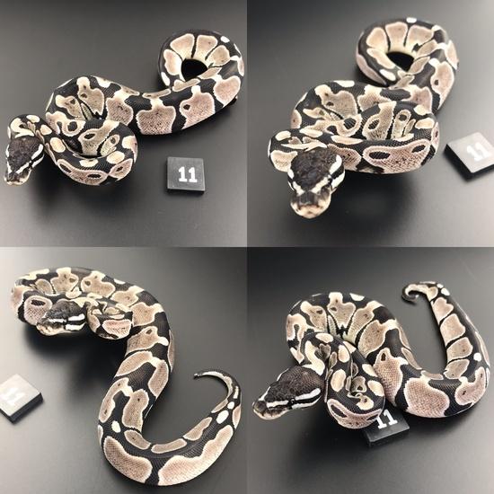 ball pythons for sale uk online