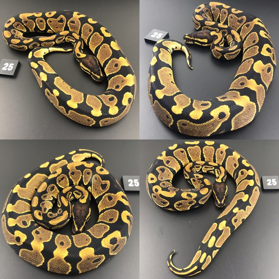 ball pythons for sale south wales