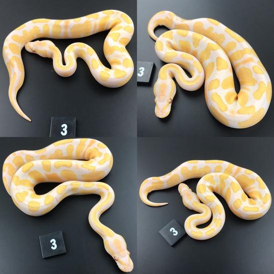 ball pythons for sale kent