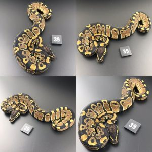 ball python for sale bristol