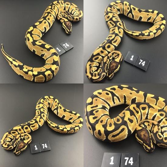 ball python breeders lincolnshire