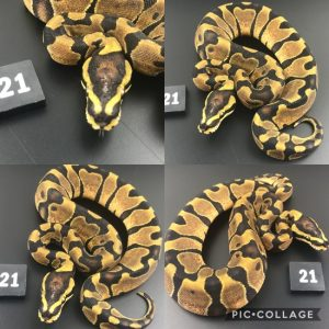 ball python for sale gloucestershire