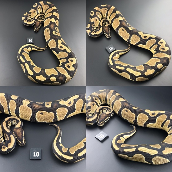 ball pythons for sale manchester
