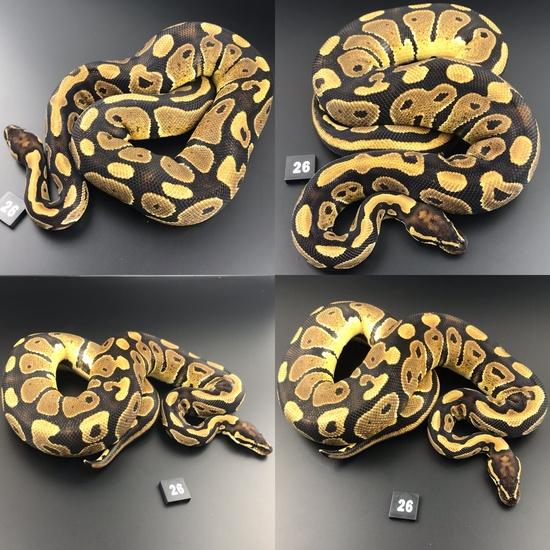 ball pythons for sale london