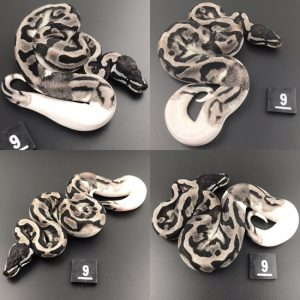 ball pythons for sale glasgow