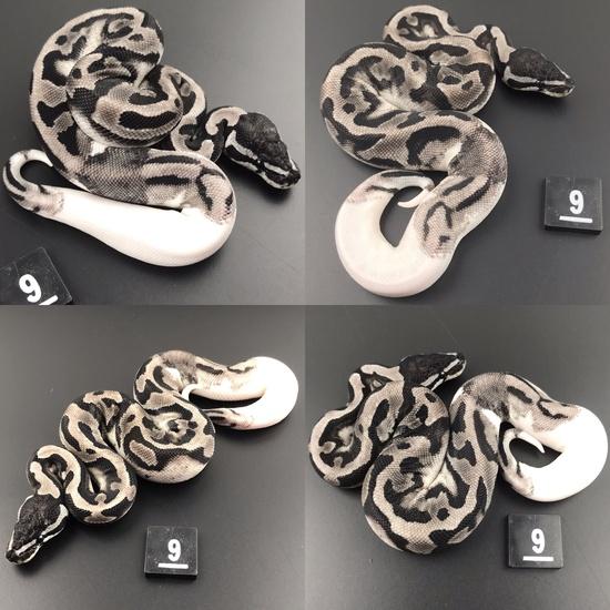 ball pythons for sale glasgow
