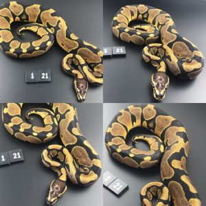 ball pythons for sale essex