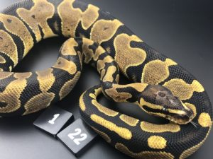 ball pythons for sale liverpool
