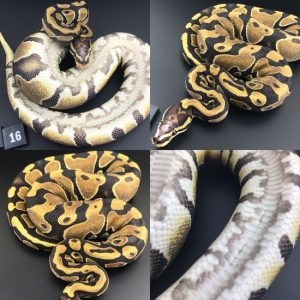 ball pythons breeders near me