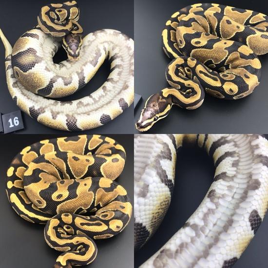 ball pythons breeders near me