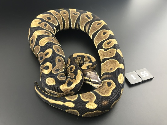 ball pythons for sale ireland