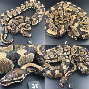 ball pythons in water