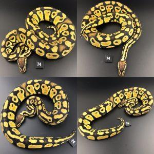 a ball python snake