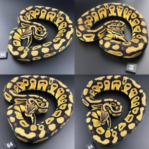 ball pythons as pets