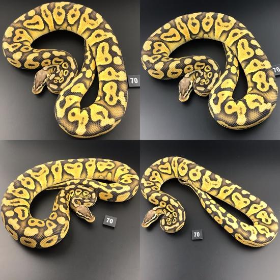 ball pythons hybrid
