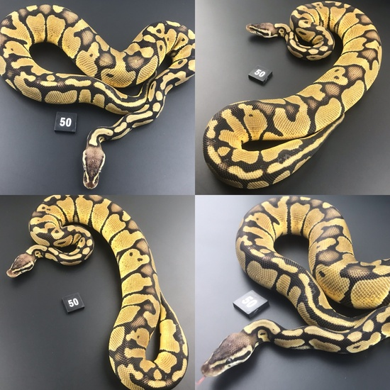 ball python breeding behavior