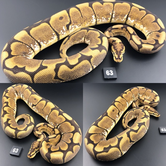 ball pythons for sale facebook