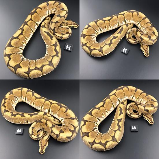 ball pythons for sale europe