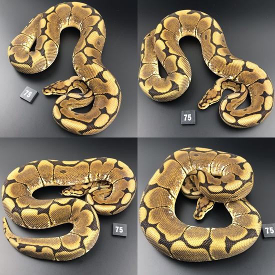 ball pythons for sale devon