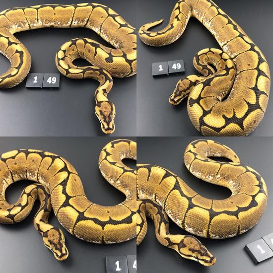 ball pythons breeders uk