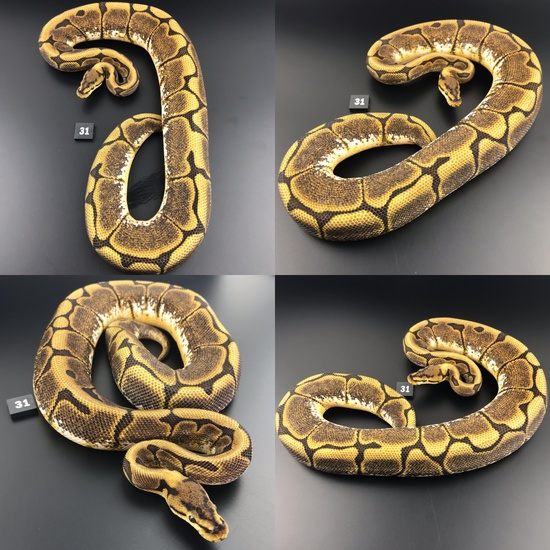 ball python breeding equipment