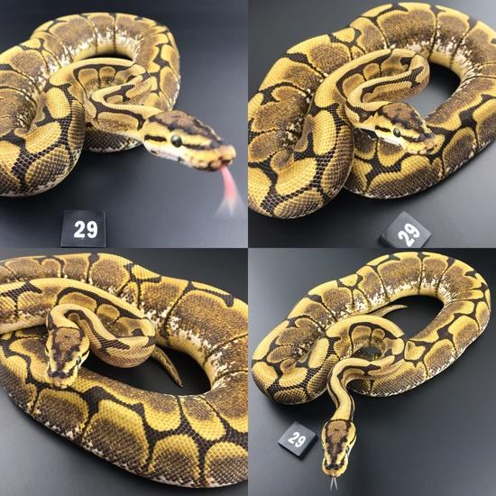 ball python breeders essex