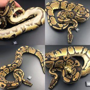 ball pythons for sale cheap near me