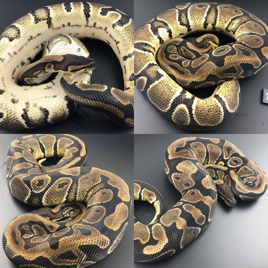 ball pythons for sale cheap online