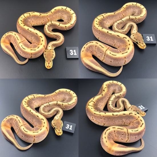 ball pythons uk